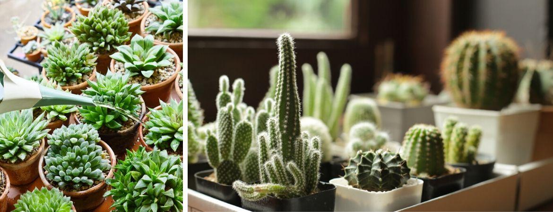 Veel soorten cactussen en vetplanten | GroenRijk Beneden Leeuwen