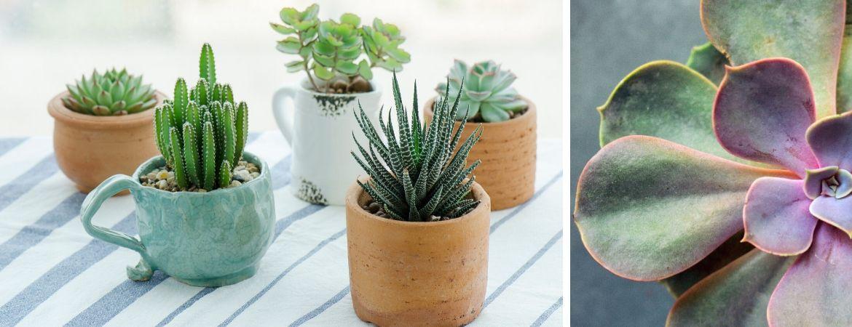 Populaire cactussen en vetplanten | GroenRijk Beneden Leeuwen